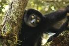 Lemure indri