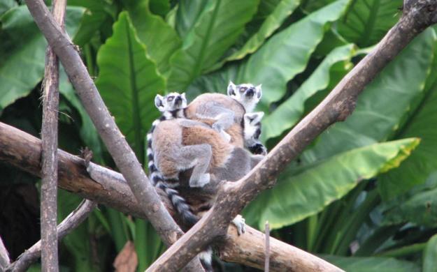 Lemure catta