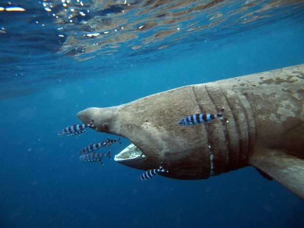 EgidioTrainito squalo elefante